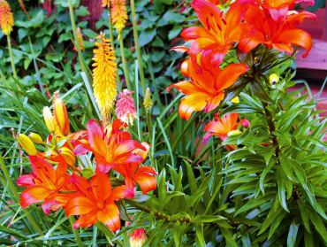 Asiatic lily hybrid blooms in tandem with Red Hot Poker late June into July.