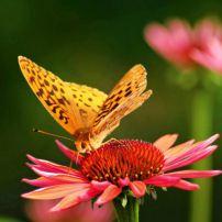 Gardening to Attract Hummingbirds and Butterflies