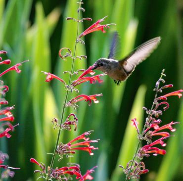 Hummingbird tastes nectar from a Red Hyssop blossom.