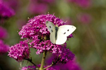Cabbage white butterfly feeds on purple-pink Valerian.
