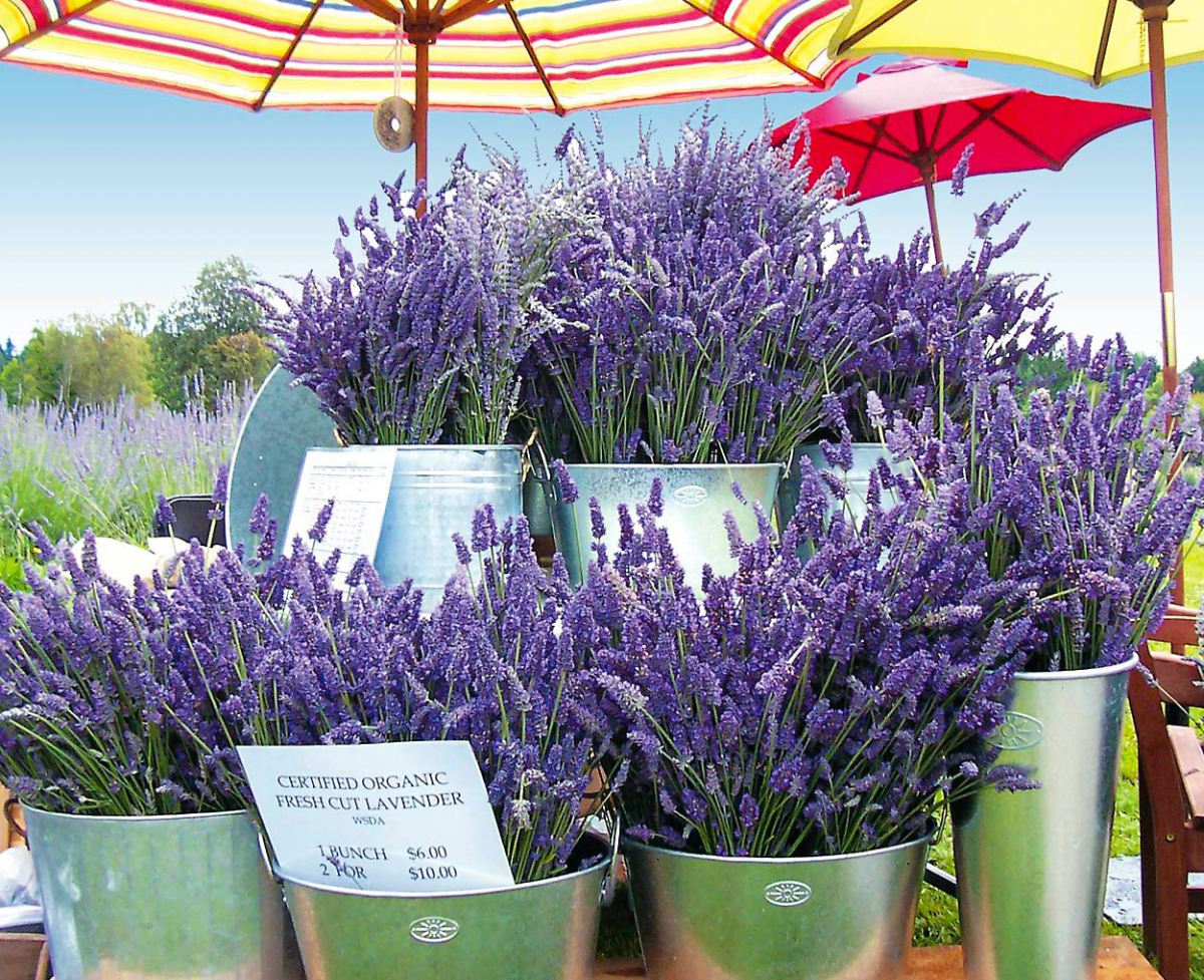 Wshg Net Blog Enjoy The Versatility Of Lavender By Growing Your Own Gardeners Corner July
