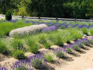 Enjoy the Versatility of Lavender by Growing Your Own