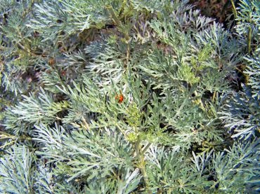 """The lacy silver foliage of Artemesia """"Powis Castle"""""""