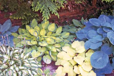 Vibrant hosta leaves light up in massed plantings.