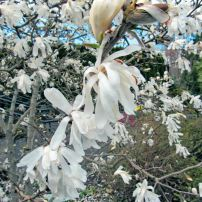 The early spring blooms of star magnolia (Magnolia stellata)