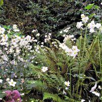 """Late blooming Japanese anemone """"Honorine Jobert"""""""