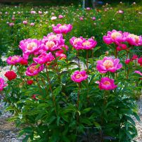 """Paeonia """"Leslie Peck"""" has deep-pink petals surrounding the spiky, orange-and-yellow petaloids. (Herbaceous Hybrid)"""