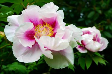 One of the most beautiful and enormous flowers comes from the shrub Paeonia suffruticosa. (Tree peony)