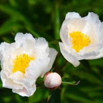"""Paeonia """"Krinkled White"""" is a popular, classic peony from the 1920s, and has a single, white flower. (Herbaceous hybrid)"""