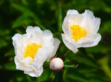 "Paeonia ""Krinkled White"" is a popular, classic peony from the 1920s, and has a single, white flower. (Herbaceous hybrid)"