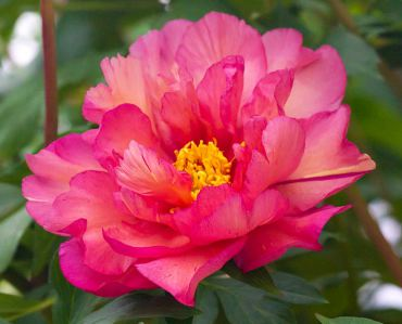 "Copper hued, semi-double flower is enriched further with deep copper centers of the Paeonia ""Kopper Kettle"" blossom. (Itoh)"