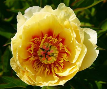 "Paeonia ""Garden Treasure"" won the 2009 Award of Landscape Merit from the American Peony Society. (Itoh)"