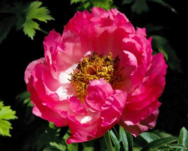 "Paeonia ""Coral Charm"" is an early blooming, semi-double flowering peony. (Herbaceous hybrid)"