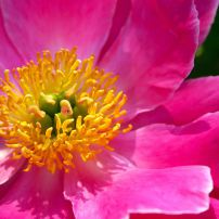 "Paeonia ""Friendship"" won the 2012 Award of Landscape Merit from the American Peony Society. (Herbaceous hybrid)"