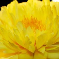 "Paeonia ""Yellow Doodle Dandy"" has pure-canary-yellow, double blossoms. (Itoh)"