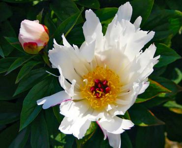 "Paeonia ""Lois Kelsey"" is an old-fashioned favorite with snow-white flowers. (Herbaceous hybrid)"