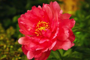 "Paeonia ""Pink Double Dandy"" has fragrant semi-double flowers. (Itoh)"