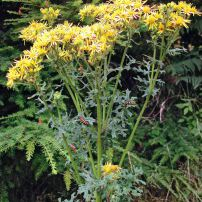 A summer bloomer, tansy ragwort can be anywhere from one to six feet tall. Ingesting this biennial weed can cause irreparable liver damage. (Photo courtesy Kitsap Noxious Weed Control)