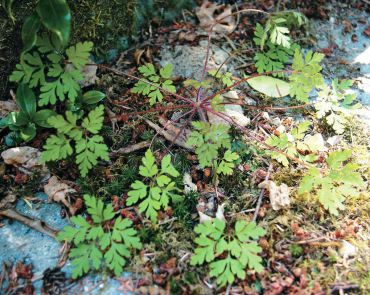 "Annual Herb-Robert, or ""stinky Bob,"" has a skunk-like odor, attractive pink flowers and spreads quickly by seed in shady areas. (Photo courtesy Colleen Miko)"