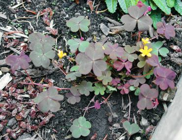 "Red oxalis or wood sorrel is a low-growing perennial weed with slender taproot, roots from above ground ""runners"" and ejects seeds as far as 10 feet from pointy, hairy pods. (Photo courtesy Colleen Miko)"