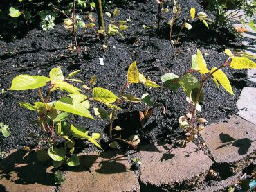 Small seedlings of knotweed advance on a flower bed. Note the hollow, reddish canes that resemble bamboo and leaves shaped like elongated hearts. (Photo courtesy Kitsap Noxious Weed Control)