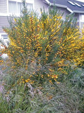 "Perennial and woody, Scotch broom was first introduced to our area as an ornamental shrub. A ""weed wrench"" can be borrowed from the Kitsap County Noxious Weed Program for removing large plants, root and all. (Photo courtesy Kitsap Noxious Weed Control)"