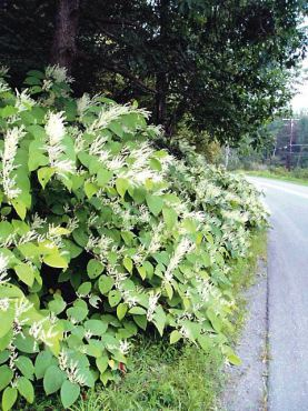 Knotweed, a tall perennial, spreads by seeds, roots and rhizomes that can span 30 feet. Cut pieces of stem as little as an inch long can re-root. (Photo courtesy Kitsap Noxious Weed Control)