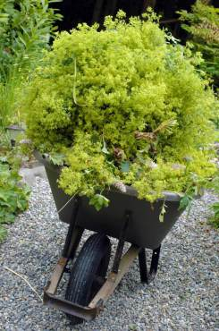 Wheelbarrow full of lady's mantle flowers.