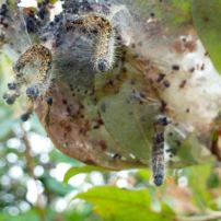 Caterpillars that are hanging dead from their tent after having been destroyed by parasites.