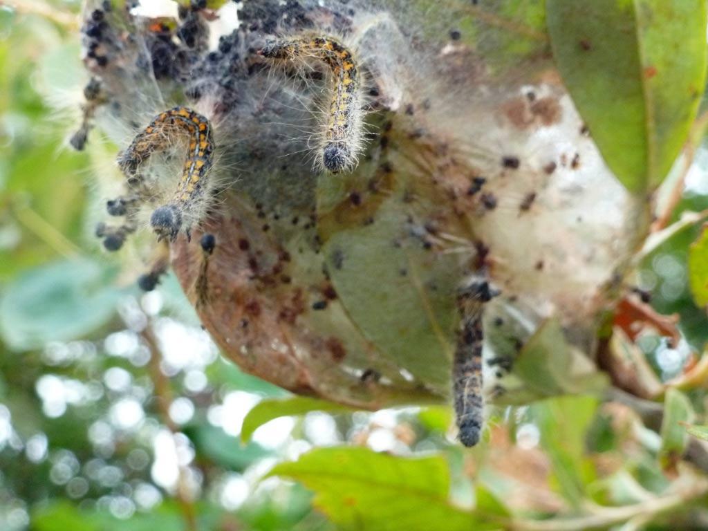 Wesern Tent Caterpillar Larvae