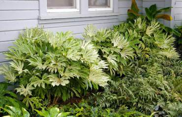 Shady bed of Fatsia 'Spider's Web' with other woodland delights