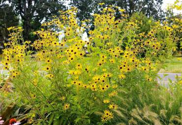 'Henry Eilers' Rudbeckia grows to 5-feet-high in mixed bed.