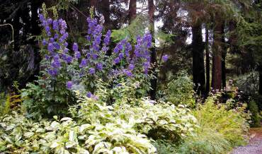 Monkshood in partly sunny bed with variegated Persicaria at feet and lavender toad lily beyond