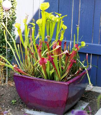 A container of Sarracenia (pitcher plants) is a beautiful and intriguing way to study insects.