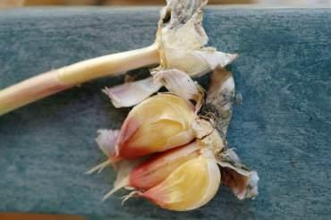 Waxy Breakdown of Garlic