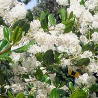 Butterflies sip nectar from closely packed clusters of flowers, such as snowbrush, Ceanothus velutinus.