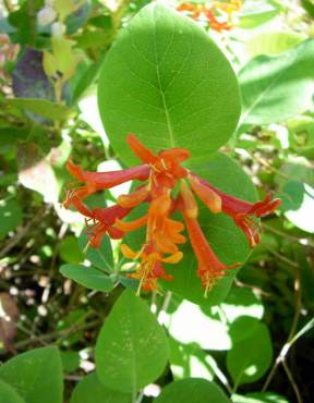 Trumpet honeysuckle, Lonicera ciliosa, with its orange-red tubular flowers, is a hummingbird favorite.