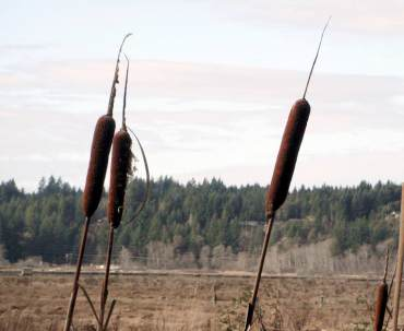 Cattails, Typha latifolia, growing along the margins of lakes and ponds, are a favorite of the red-winged blackbird.