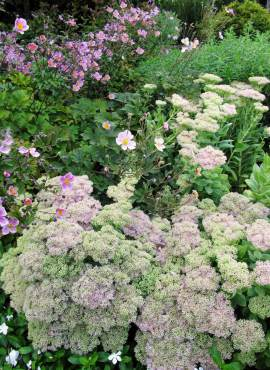 Late summer border bloomers, upright sedum and Japanese Anemone