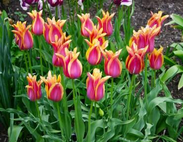 Tulipa 'Ballade Dream'