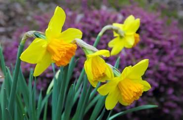 Narcissus 'Suada'