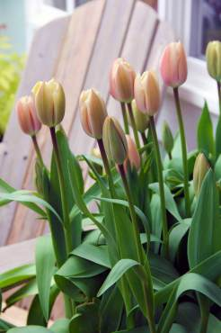 Tulipa 'Apricot Giant'