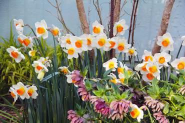 Narcissus 'April Queen'