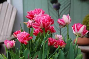 Tulipa 'Cool Crystal'