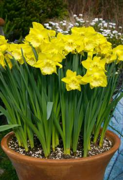Narcissus 'Spellbinder'