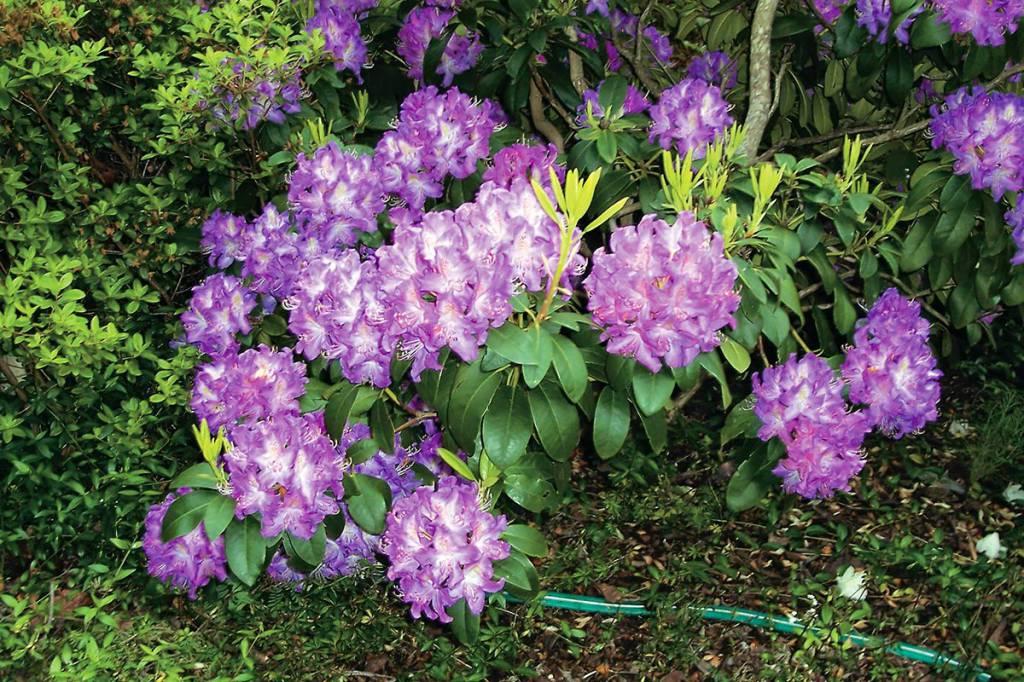 Wshg net washington 39 s state flower rhodies the - Garden state veterinary services ...