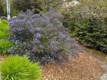 Mediterranean plants or California natives such as this wild lilac (Ceanothus) are good choices.