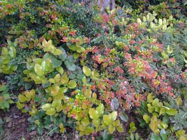 Native plants such as salal and evergreen huckleberry are essential evergreens.