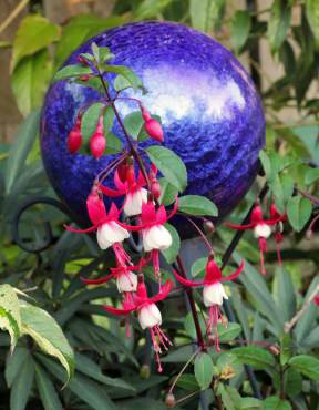Fuchsia 'Santa Claus'