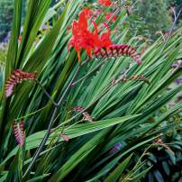 Crocosmia Lucifer This showy summer performer grows to 4 feet in full sun. The glowing scarlet flowers are beloved of hummingbirds. Spreads slowly but deliberately from corms.